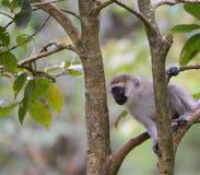 从一棵树的黑长尾小猴手表在乌干达 库存图片
