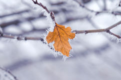 一棵树,干燥叶子的分支在霜的 库存图片