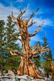 一棵树- Bristlecone杉木树丛足迹-伟大的水池全国P 库存照片