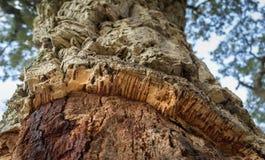 一棵栓皮栎树的特写镜头在蓝天背景的 库存照片
