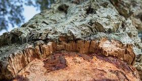 一棵栓皮栎树的特写镜头在蓝天背景的 免版税库存照片