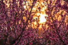 一棵桃树的开花的分支与桃红色花的 免版税库存图片