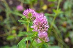 一棵桃红色三叶草的花在与绿草的领域增长 库存图片
