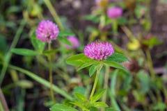 一棵桃红色三叶草的花在与绿草的领域增长 免版税库存图片