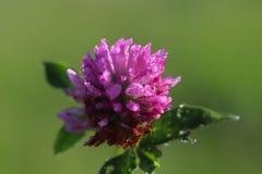 一棵桃红色三叶草的花在阳光下 在小滴的一朵蓝色花在被弄脏的绿色背景的露水 r的草甸的植物 库存照片