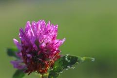 一棵桃红色三叶草的花在阳光下 在小滴的一朵蓝色花在被弄脏的绿色背景的露水 r的草甸的植物 免版税图库摄影