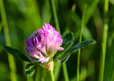 一棵桃红色三叶草,早晨的花与露滴的 库存照片