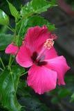 一棵桃红色木槿在一个庭院里开花在会安市(越南) 库存图片