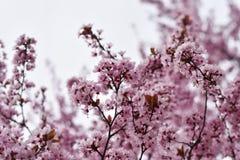 一棵桃红色树的美好的场面 库存图片