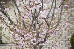 一棵桃红色树 免版税库存照片