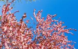 一棵桃红色樱桃的开花的树,在蓝天,春天晴朗的da 库存照片