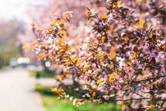 一棵桃红色樱桃的开花的树,在蓝天,春天晴朗的da 免版税库存图片