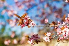 一棵桃红色樱桃的开花的树,在蓝天,春天晴朗的da 库存图片