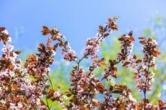 一棵桃红色樱桃的开花的树,在蓝天,春天晴朗的da 免版税库存照片