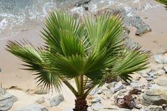 一棵棕榈树在加利福尼亚 库存图片