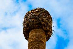 一棵棕榈树的上面没有叶子的 免版税库存照片