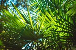 一棵棕榈树的叶子在蓝天背景的 库存照片