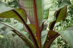 一棵棕榈树的热带密林叶子自温室 免版税库存照片