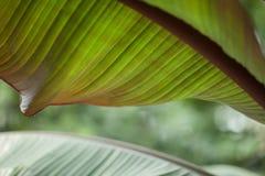 一棵棕榈树的热带密林叶子自温室 免版税库存图片