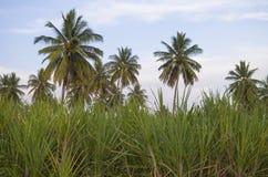 一棵棕榈树的美好的热带风景在一棵草的以天空为背景 免版税库存图片