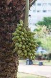 从一棵棕榈树的Bacuri果子在南美 免版税库存照片