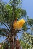 一棵棕榈的美丽的花反对蓝天的 西班牙 库存照片