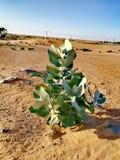 一棵植物在沙漠 库存照片