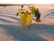 一棵植物在沙漠 图库摄影