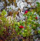 一棵植物用在干燥白色青苔的五颜六色的lingon莓果 库存图片