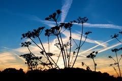 一棵植物的剪影有chemtrails的在天空 免版税库存照片