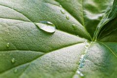 一棵植物的叶子有露水下落的  图库摄影