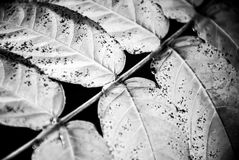 一棵植物的叶子黑白的 免版税库存照片