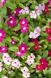 一棵植物的新鲜的绿色叶子有白色,桃红色和红色花的 免版税库存图片