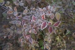 一棵植物的结冰的早晨有霜露水的 免版税库存照片