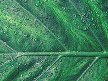 一棵植物的绿色叶子有用露水,特写镜头,宏指令下落报道的结构的  图库摄影
