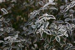 一棵植物的冻叶子在冬天 图库摄影