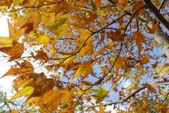 一棵槭树的分支与一片红色黄色秋天叶子的反对 图库摄影