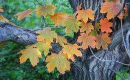 一棵槭树的分支用明亮的桔子离开反对bac 免版税库存照片