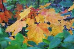 一棵槭树的分支用明亮的桔子离开反对bac 库存图片
