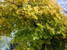 一棵槭树的绿色叶子在一个晴天 库存照片