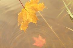 一棵槭树的落的秋叶到水里 图库摄影