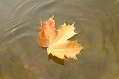 一棵槭树的落的秋叶到水里 免版税库存照片