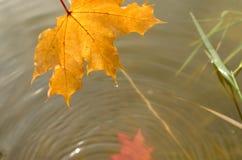 一棵槭树的落的秋叶到水里 免版税库存图片
