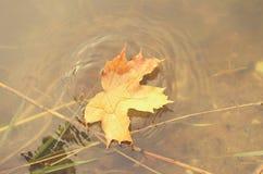 一棵槭树的落的秋叶到水里 免版税图库摄影