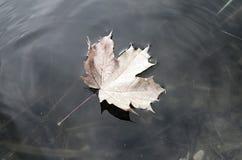一棵槭树的落的秋叶到水里 库存照片