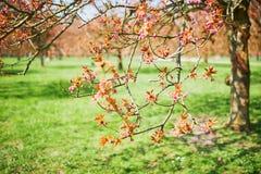 一棵樱桃树的分支与开始桃红色的花的开花 免版税库存图片