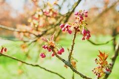 一棵樱桃树的分支与开始桃红色的花的开花 库存图片