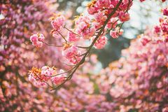 一棵樱桃树的分支与桃红色花的在盛开 免版税库存图片