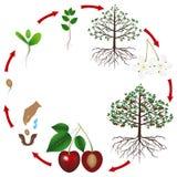 一棵樱桃树的生命周期在白色背景的 皇族释放例证