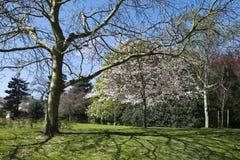 一棵樱桃树的看法在排行路的开花的通过花花公子 免版税库存图片